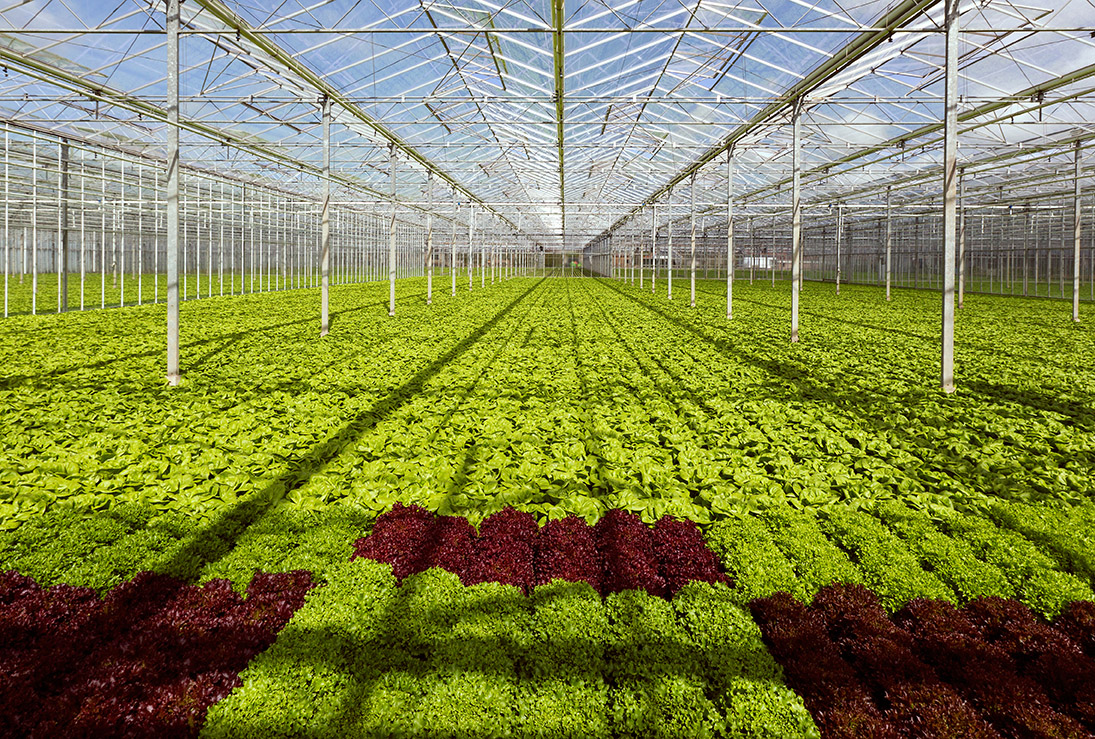 a field of fresh lettuce in a greenhouse